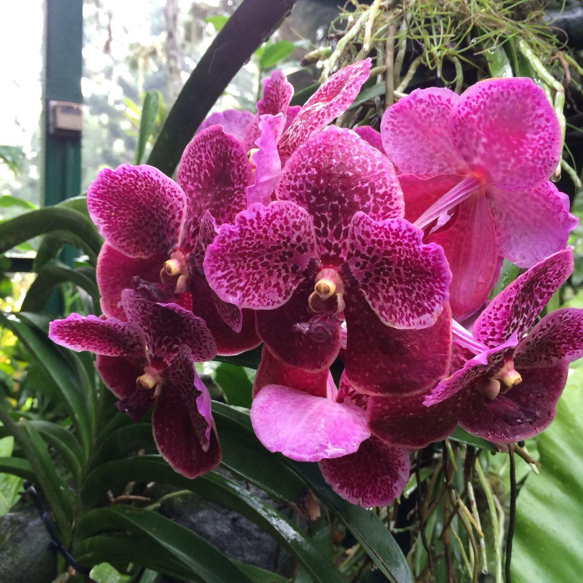 Orchids in Singapore Botanical Garden Orquídeas vanda