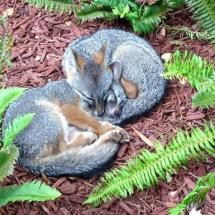 fox kits take a nap