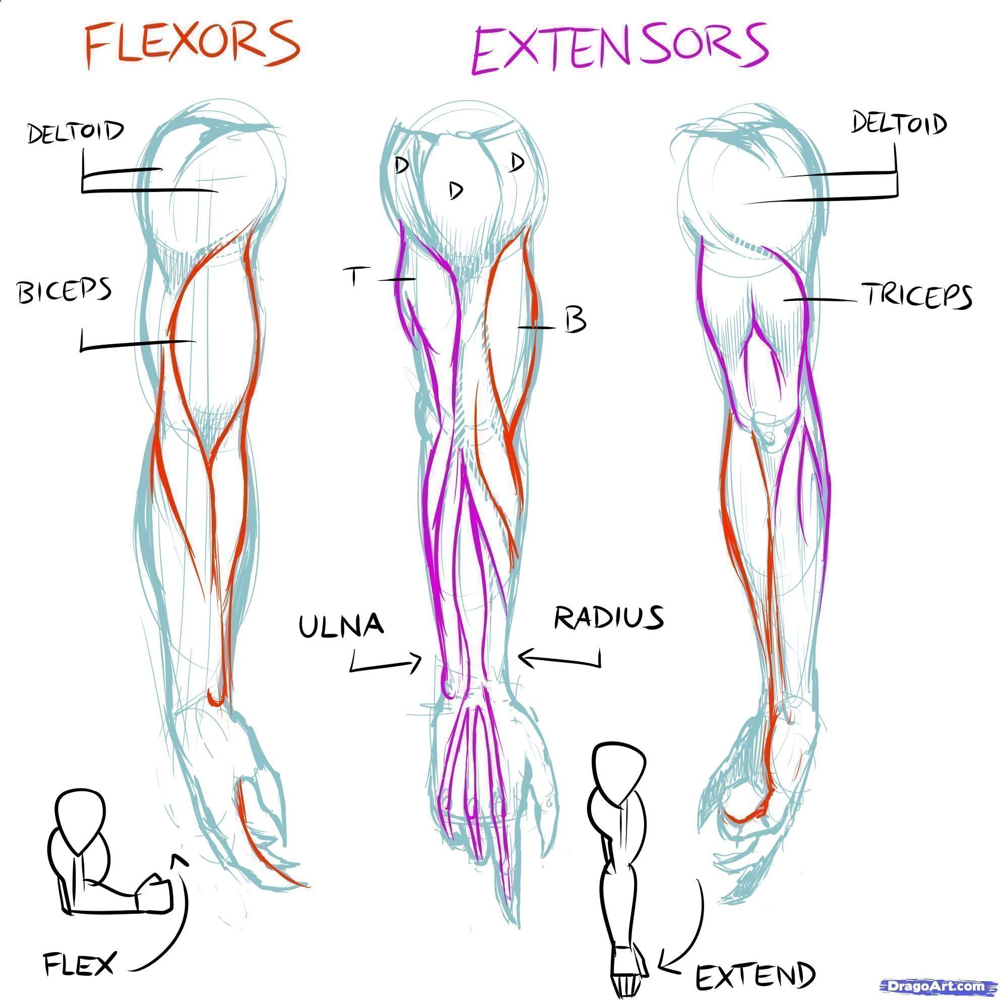 muscles line of pull | How to Draw Muscles, Step by Step, Anatomy ...
