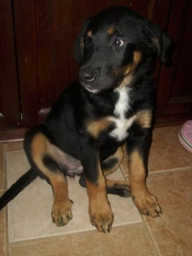 Bernese Mountain Dog And Black Lab Mix Puppy In Maxville Ontariofor Lab Mix Puppies Crazy Dog Lady Cute Dogs