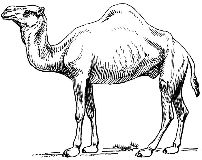 Line Drawing Sketches : Sketches of camels in the desert camel dromedary