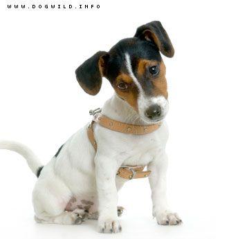 Jackie Russel terrier