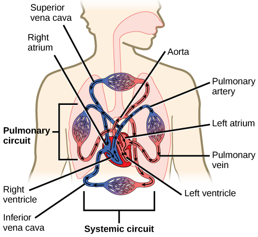 The Circulatory System Review Article Khan Academy Circulatory System Body Systems Human Body Systems