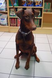 Adopt Lucy On Pets Doberman Pinscher Dog Doberman Pinscher