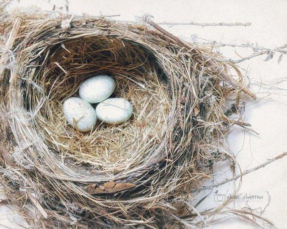 """Canvas Art Print /""""Bird nest with blue baby robins eggs against neutral textur"""