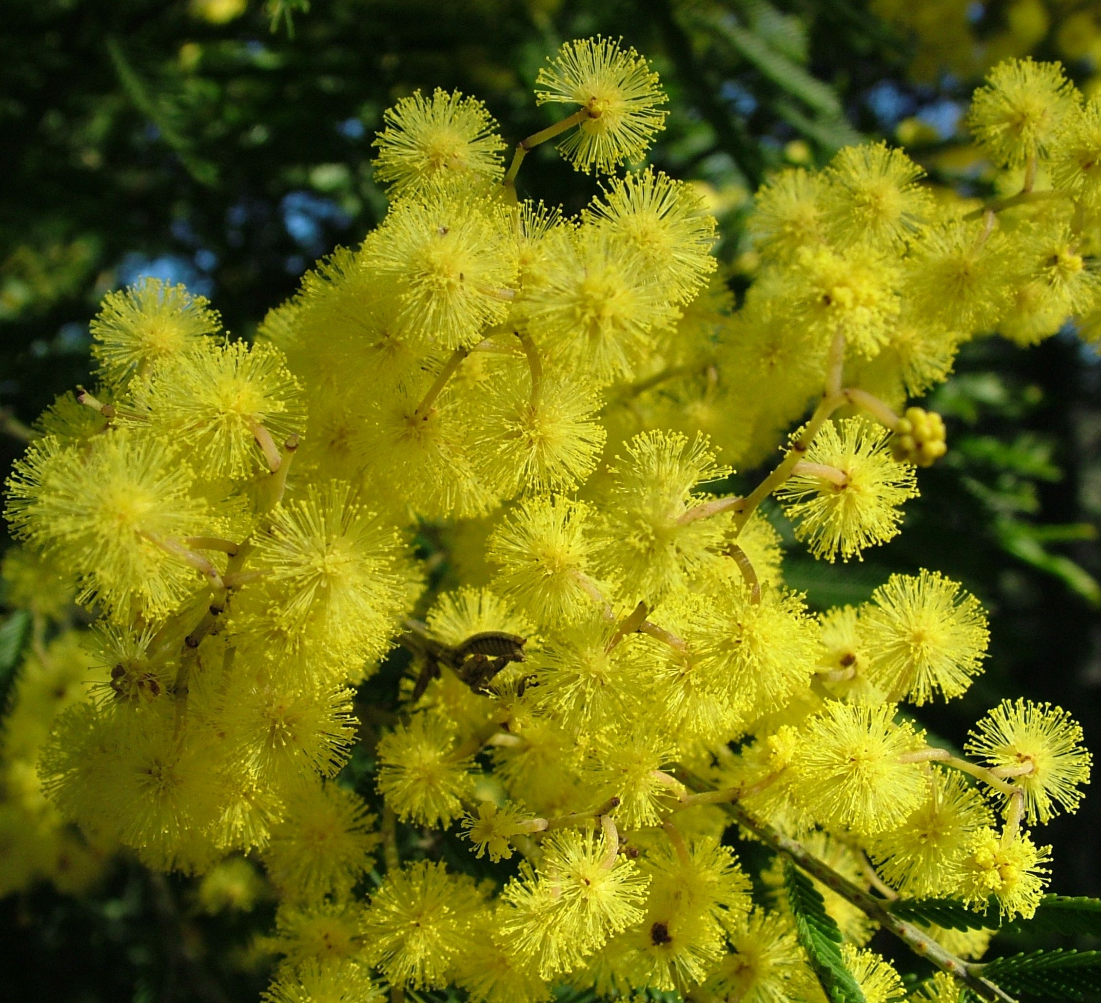 Acacia Filicifolia Fern Leaf Wattle Is A Tree Growing Up To 14m High In Good Conditions But Usually Less It Ha Australian Native Plants Plants Growing Seeds