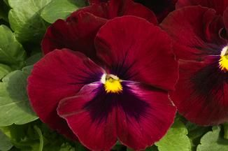 Pansies Violas Pansies Flowers Plants