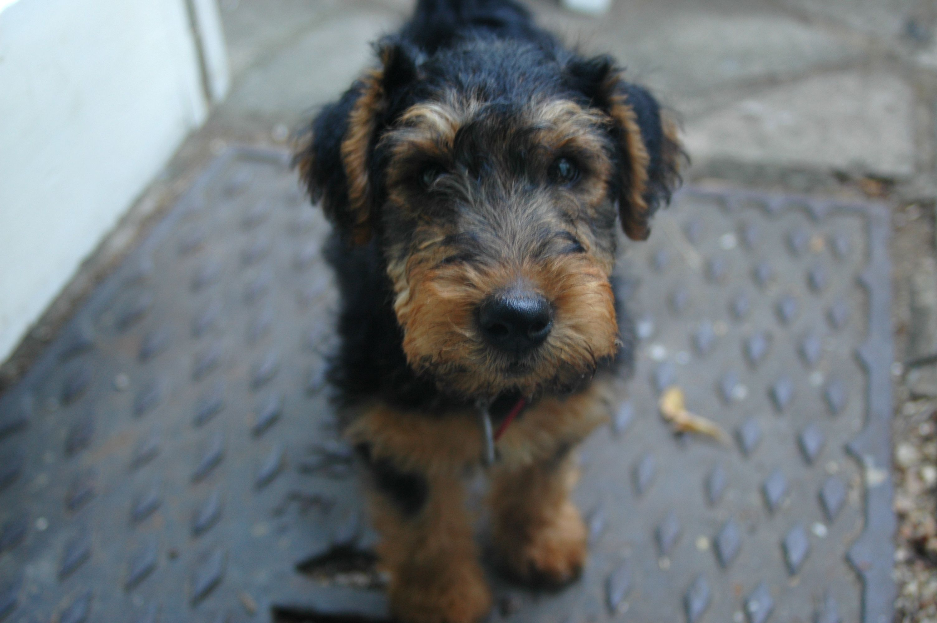 Atticus Welsh terrier at 2 months