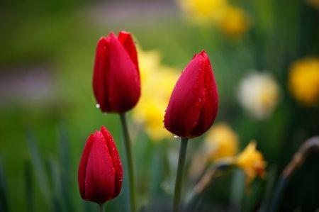 Tulips - Desktop Nexus Wallpapers