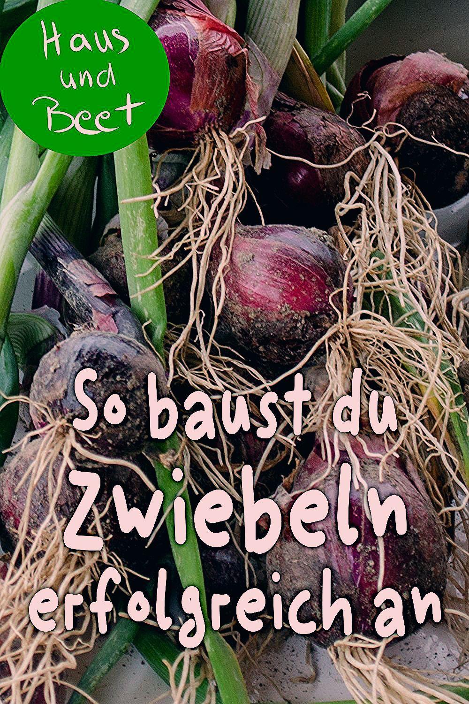 Photo of Zwiebel anbauen – Schritt für Schritt Anleitung – Haus und Beet