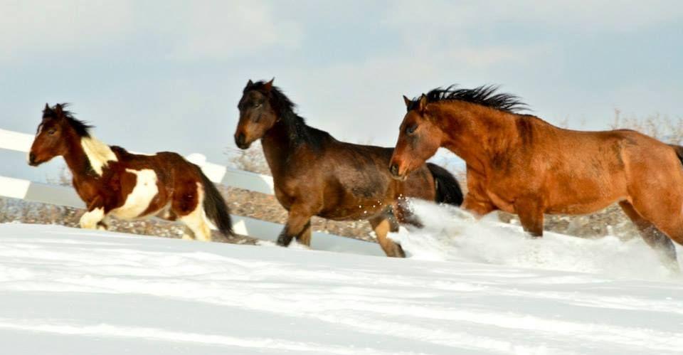 3 of our 5 horses enjoying a snow storm! #Horses #Snow #Sedalia #Colorado #OrganicLiving #Ranch