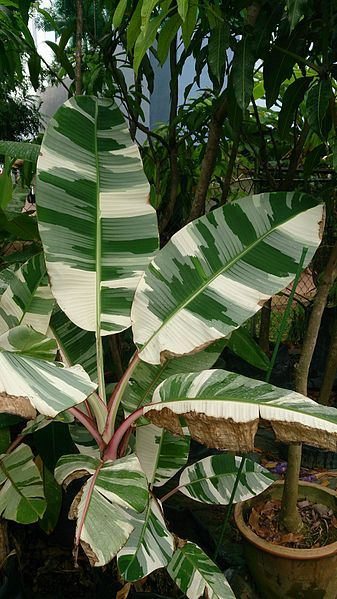 File Royal Variegated Banana Musa X Paradisiaca Ae Ae