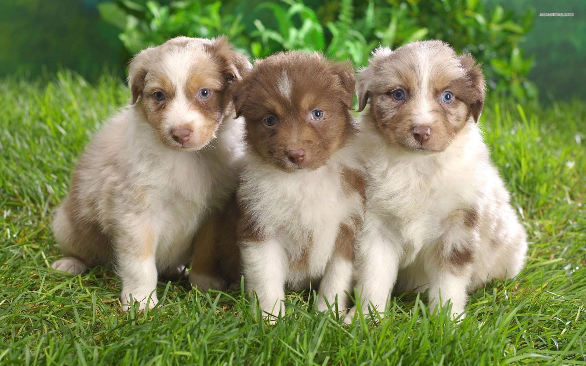Australian Shepherd Wallpaper Pictures 8406 4256 x 2832 ...