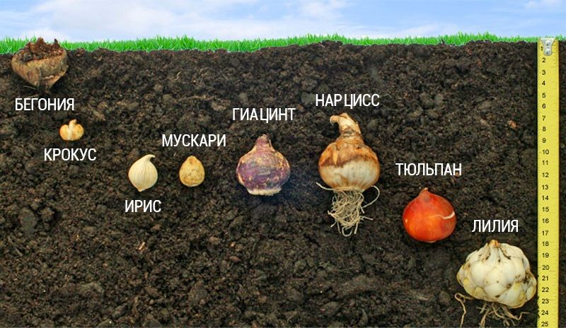 Метод «лазаньи», или «сэндвич» — так называют ярусный принцип посадки  луковичных цветов. Осуществить такую задумку н… | Луковичные цветы, Садовые  идеи, Цветник план