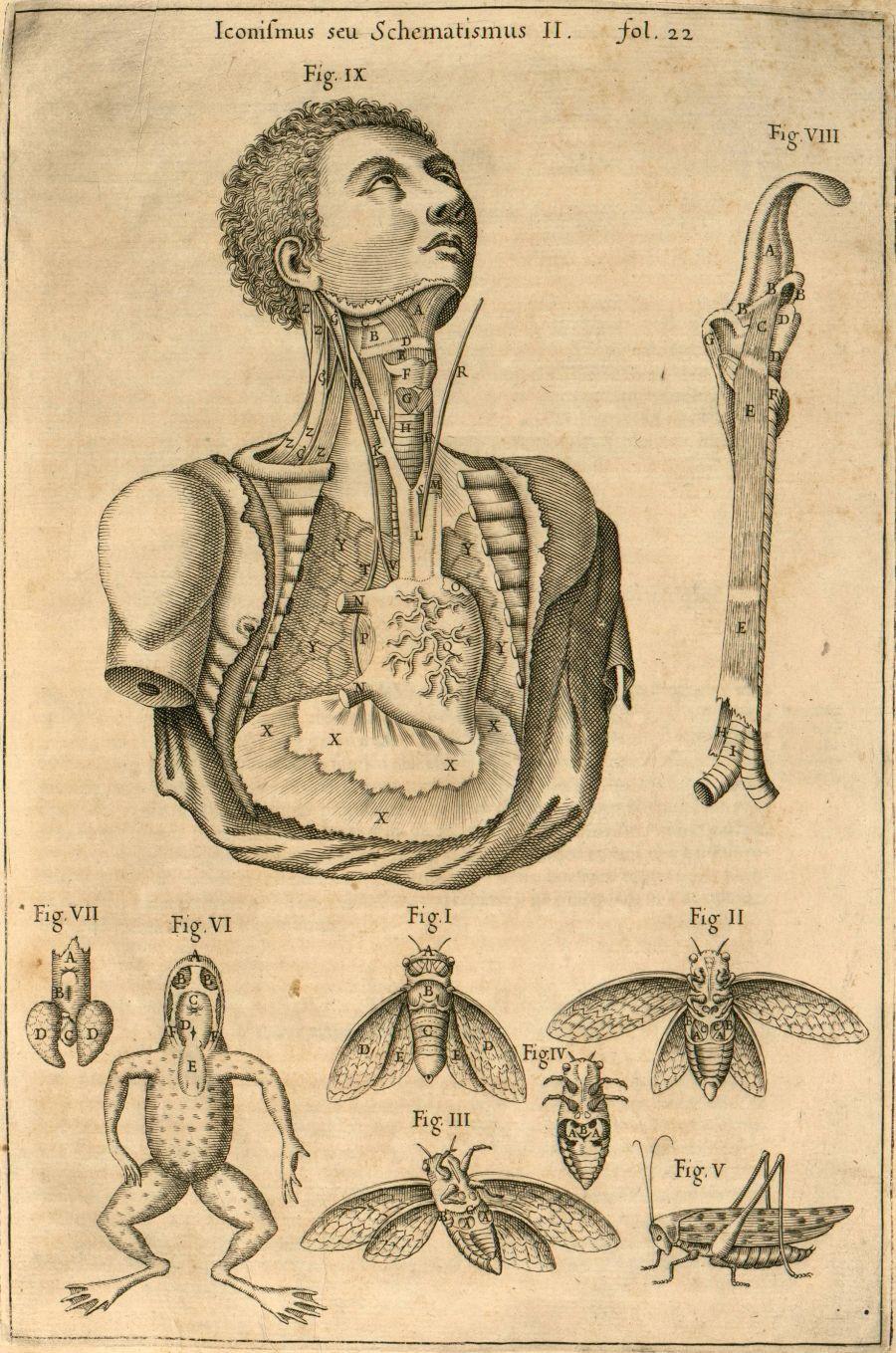 Athanasius Kircher: Musurgia larynx/thorax - comparative anatomy ...