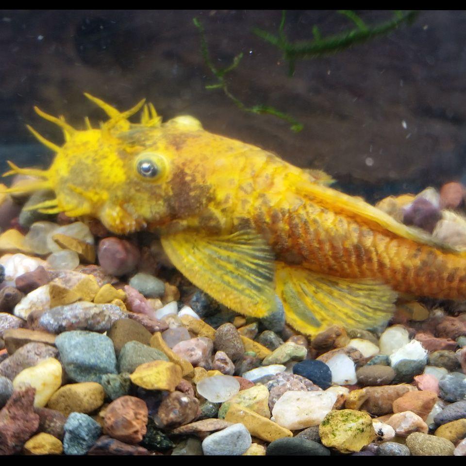 Calico Bristlenose Pleco Beautiful Fish Calico Fish Pet
