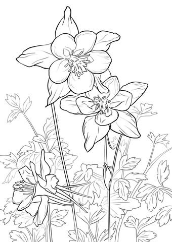 Rocky Mountain Columbine Coloring page | Free Printable Coloring ...