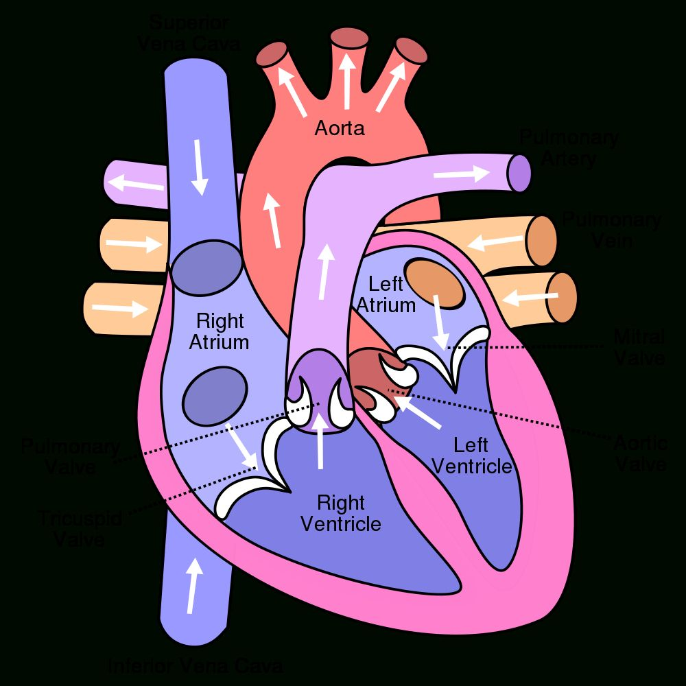 Human Heart Pictures For Kids | Heart anatomy, Heart ...