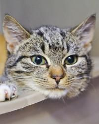 Marty is an adoptable Domestic Short Hair Cat in ...