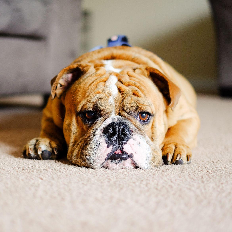 English Bulldog English Bulldog Bulldog Daisy Dog