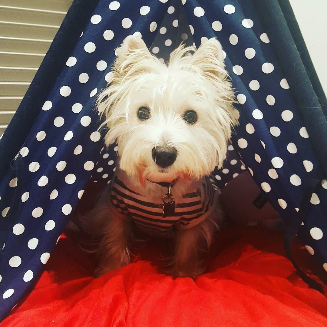 Say What Its Gonna Be 3 Degrees Tonight Brrr Rug Up My Fellow Dogsofmelbourne It S Going To Cold Winteriscoming Tofuthewestie By