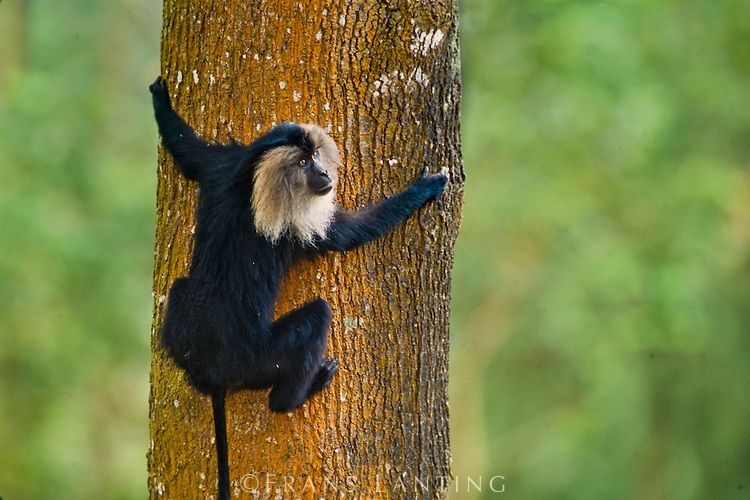Lion-tailed macaque male climbing tree, Macaca silenus, Western Ghats, India