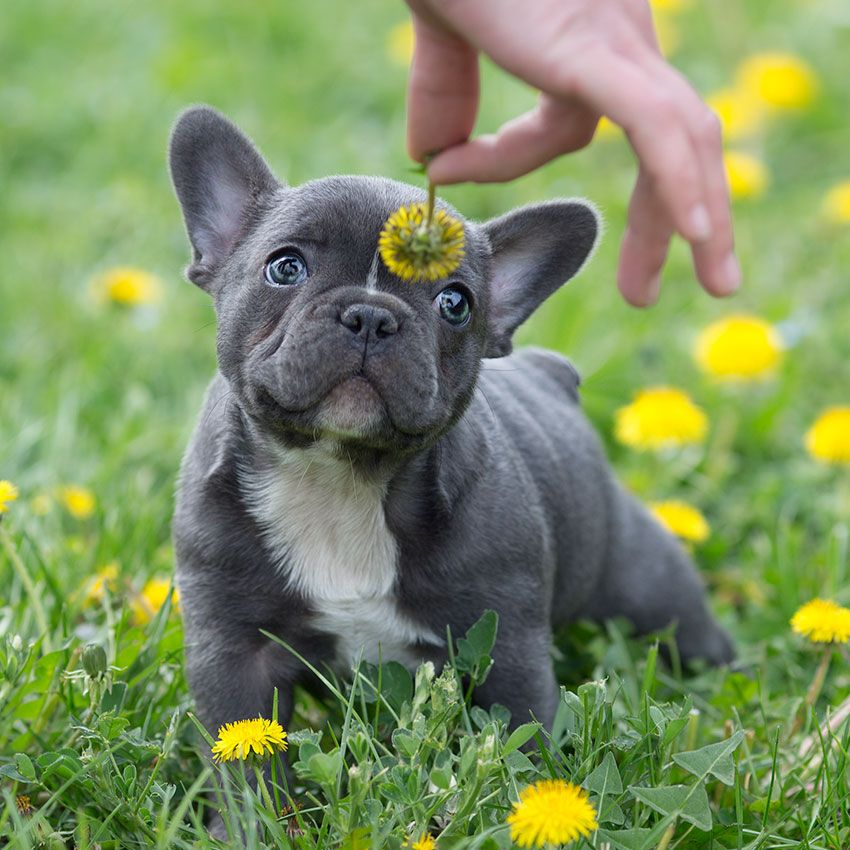 Pin en french bulldog