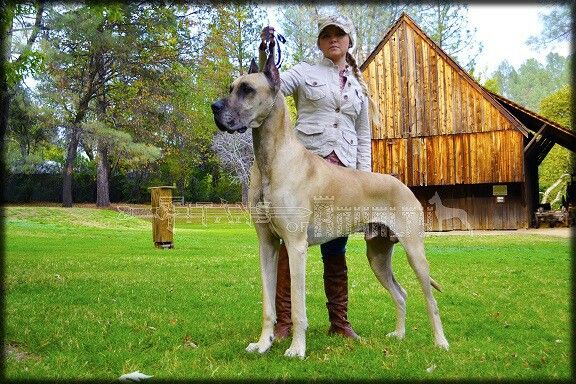 Our Huge Fawn Merle Boy Pharaoh Of Titans Of Royalty Great Danes