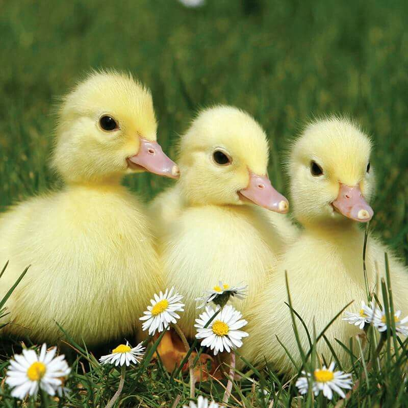 Baby farm animals image by Autumn on Spring time ..puts