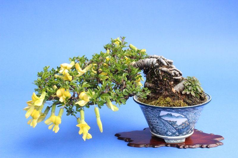 Kimusuzumehana (caragana) Pieces bonsai Soshi