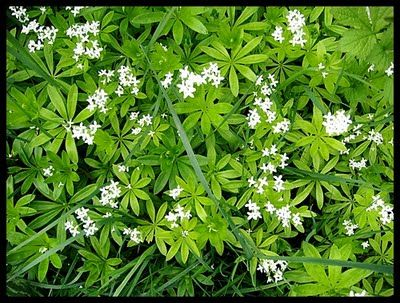 waldmeister sweet woodruff bodendecker duftweg unter str uchern und b umen ist eine. Black Bedroom Furniture Sets. Home Design Ideas