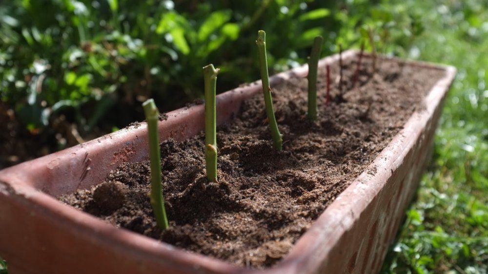 17 best ideas about bouturer un rosier on comment bouturer un rosier planter un