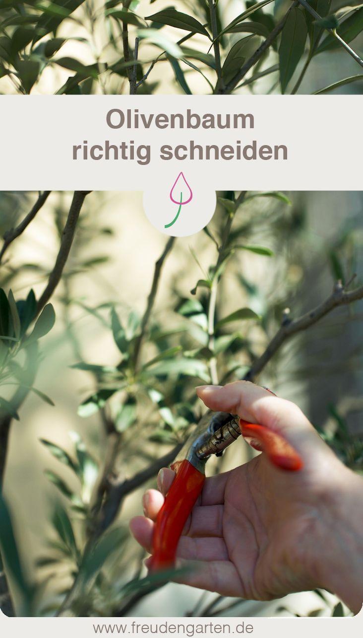 olivenbaum schneiden garten tipps pinterest olivenbaum schneiden garten und olivenbaum. Black Bedroom Furniture Sets. Home Design Ideas