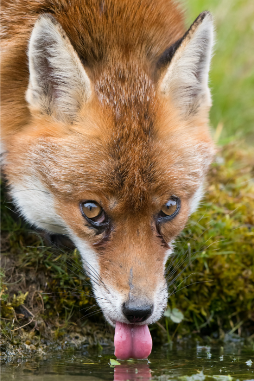 tulipnight:  Fox byToby Houlton