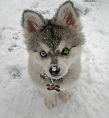 Baby Husky - Imgur