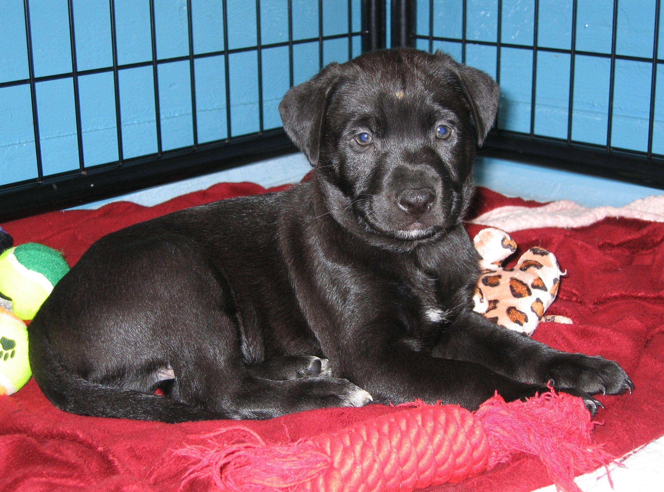 Adopt Labrador Pups On Labrador Retriever Labrador Pup
