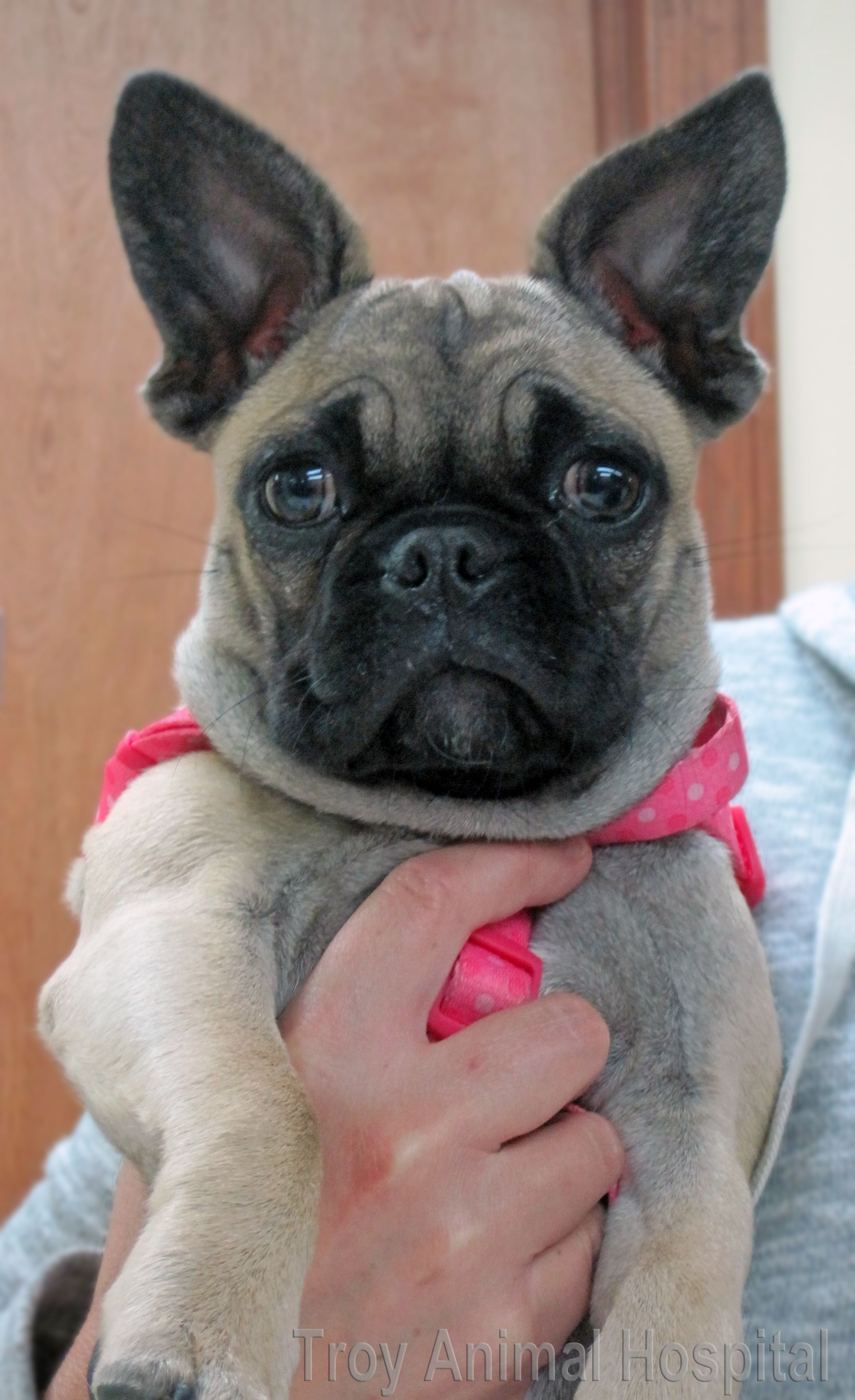 Pug French Bulldog Overwhelming Cuteness This Is Lexi French Bulldog Pug Mix Bulldog Funny Frenchie Pug