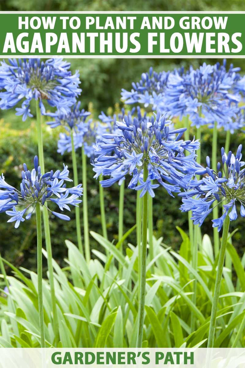 How To Grow And Care For Agapanthus Gardener S Path In 2020 Agapanthus Plants Flower Care