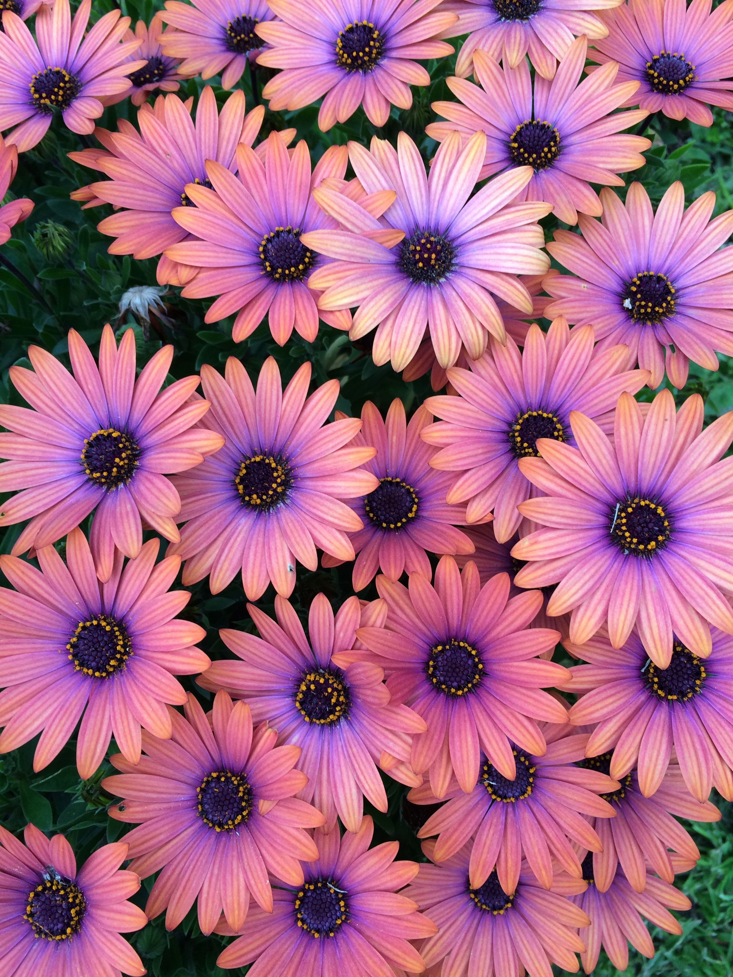 Mum Mum Flower Aesthetic Beautiful Flowers Pictures Flowers Photography