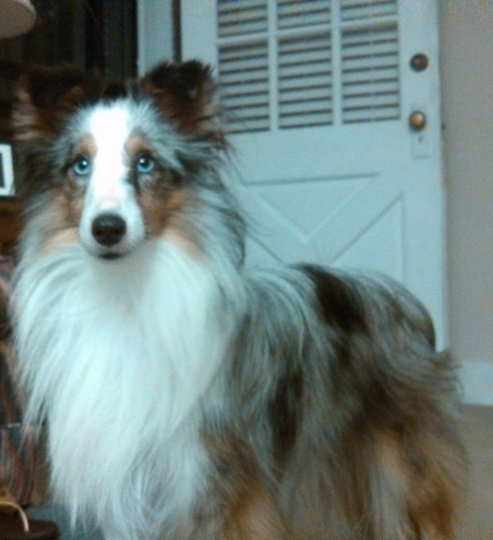 Smoky, a blue merle sheltie Blue merle sheltie, Cute