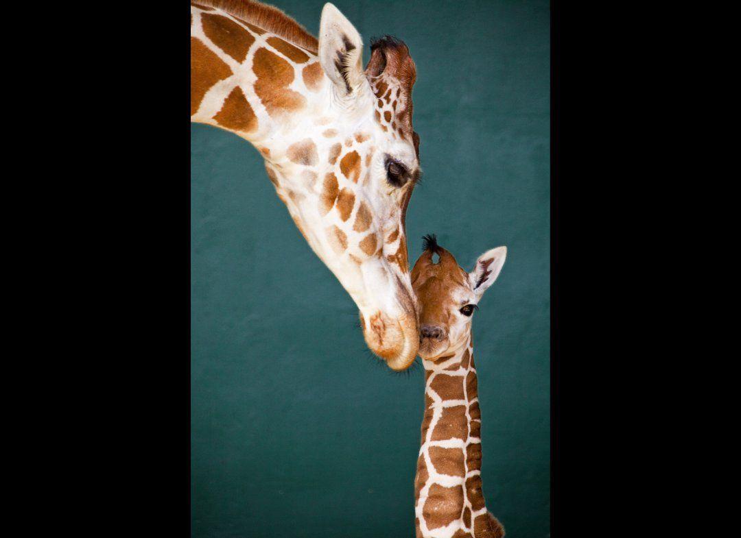 photos new baby giraffe being adorable gardens the head and baby giraffe born in tampa bay via huffpost miami huff