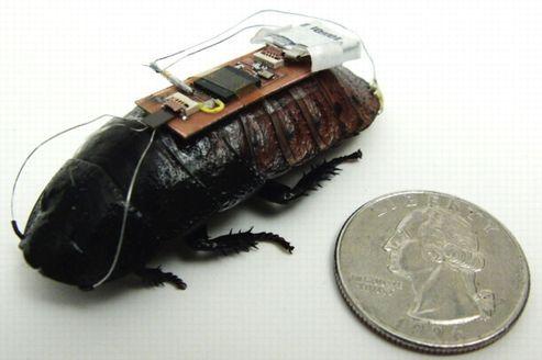 Le cafard de Madagascar mesure quelques centimètres. Son «sac à dos» électronique ne pèse pas plus de 0,5 g.