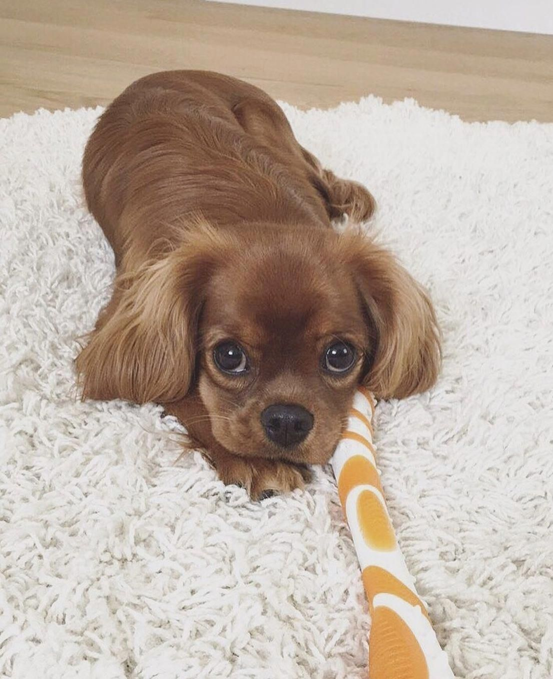 Cavalier King Charles Spaniel Graceful And Affectionate King Charles Cavalier Spaniel Puppy King Charles Dog Cavalier King Charles Dog