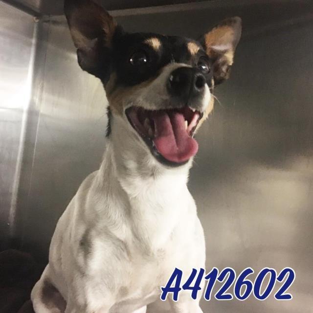 Rat Terrier dog for Adoption in San Antonio, TX. ADN-415799 on PuppyFinder.com Gender: Male. Age: Adult