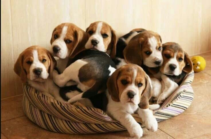 Pin By Eldonna Kent On Why U Houndin Me Baby Beagle Beagle
