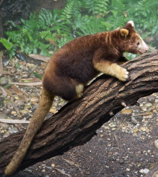Tree KangarooNot all animals from Australia are killers; case in point, the tree kangaroo, which looks more like a stuffed animal than a living. breathing creature.