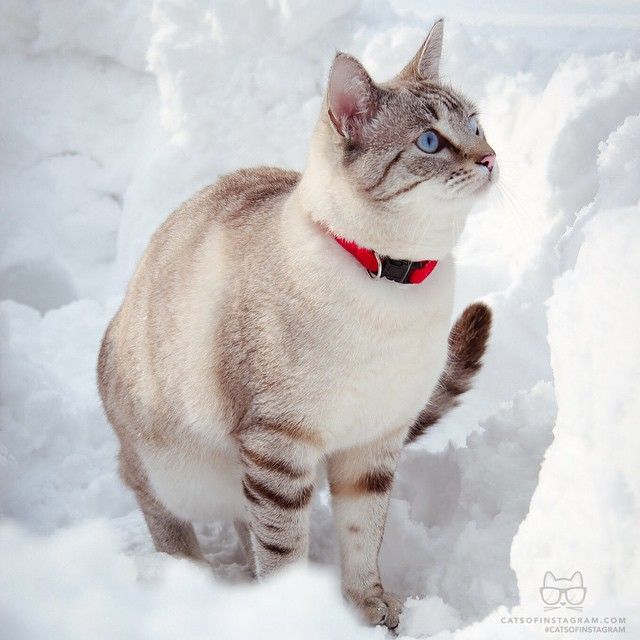 "From @elislikeatheorem: ""This is Zoe playing in the snow "" #catsofinstagram"