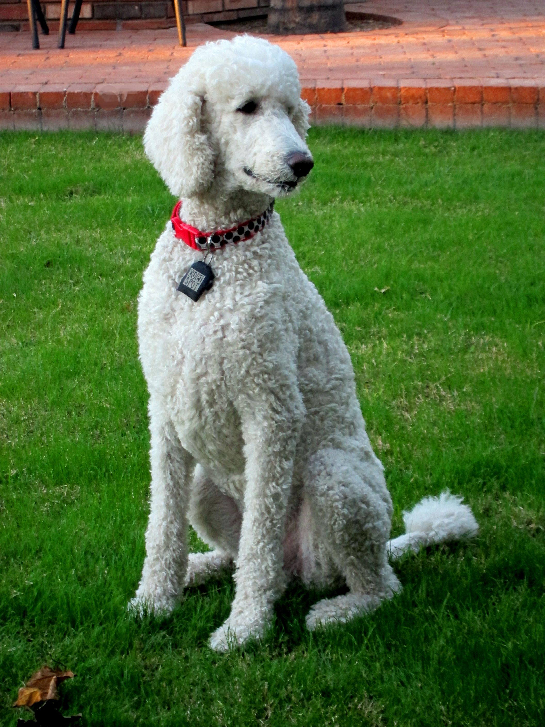Sweet Max Enjoying The Singing Birds Poodle Puppy Pictures