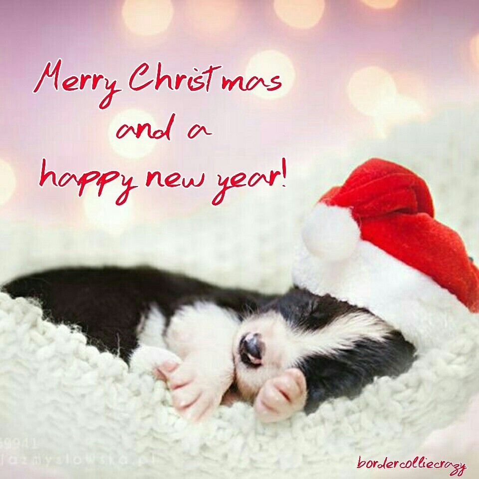 Bordercolliecrazy wishes you a merry christmas and a happy new year ...