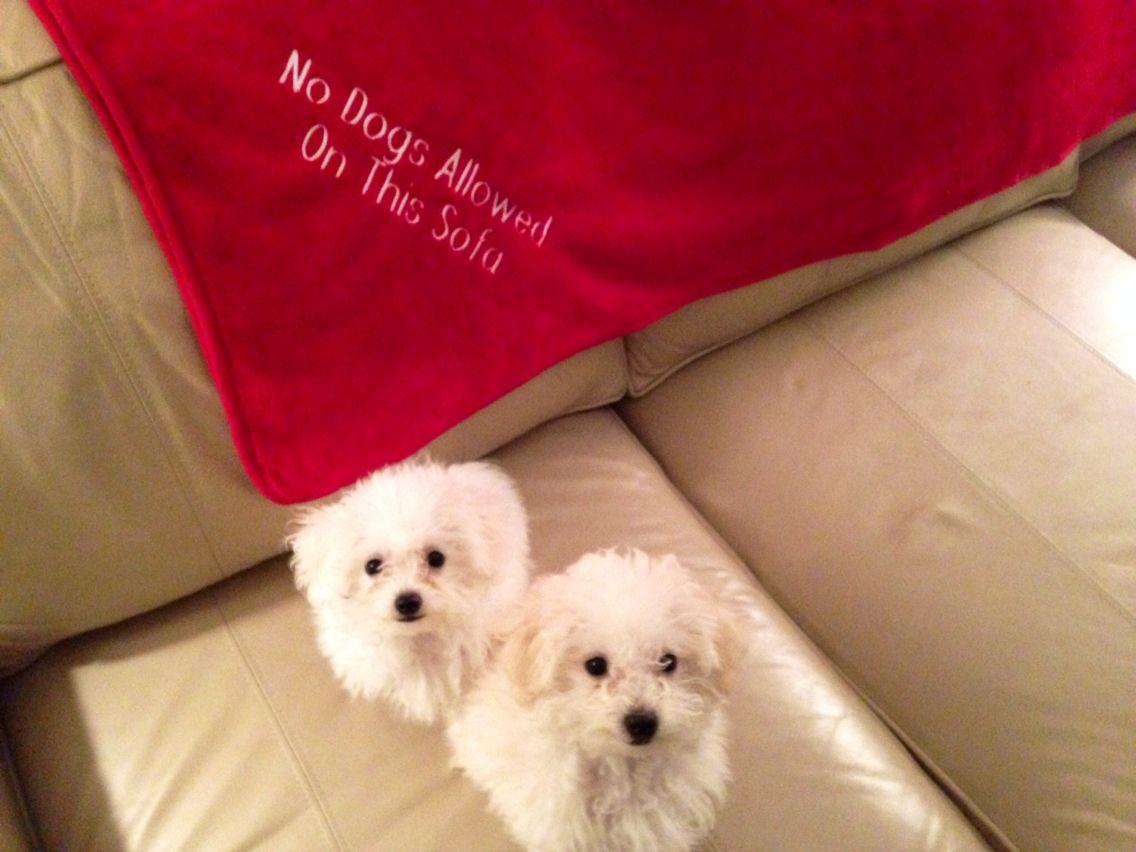 Puppies maltipoo puppy puppies maltipoo
